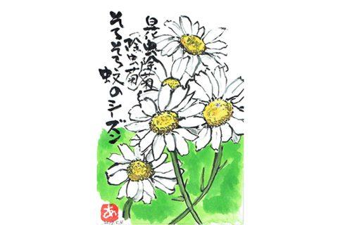 白花虫除菊(除虫菊)そろそろ蚊のシーズン–アキラさんの絵手紙2017
