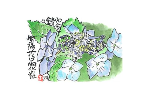 空を鏡:紫陽花は雨化粧—アキラさんの絵手紙2017