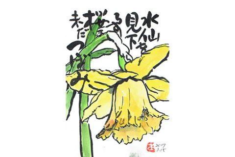 水仙を見下ろす桜は未だつぼみ—アキラさんの絵手紙2017